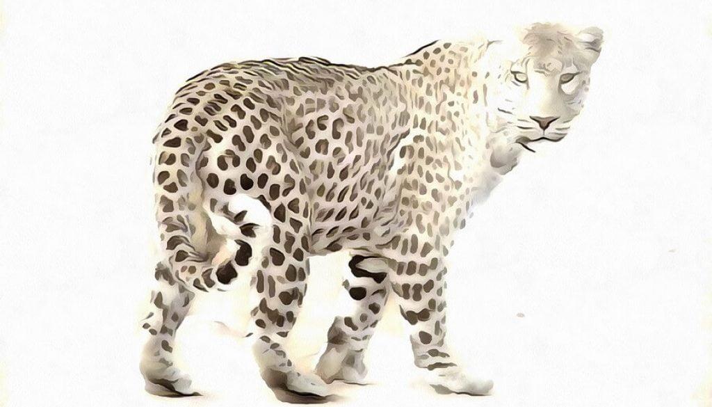 Leopard 001 - p-Ac