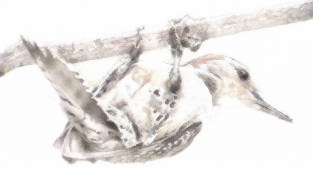 Woodpecker 002-Pfr-Aq